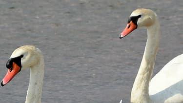 Des cygnes et leurs petits sur un lac de Marignane, le 9 juin 2015.