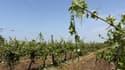 Près de Cognac, en Charente, les vignes ont été durement touchées.
