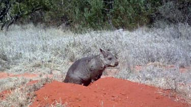 Un wombat à nez poilu du Nord, dans le parc national forestier d'Epping, en Australie. (Photo d'illustration)