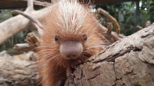 Le bébé Coendou né le 7 décembre dernier dans le parc Biotropica