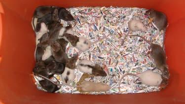 Les rattes ont des portées de 2 à 16 petits
