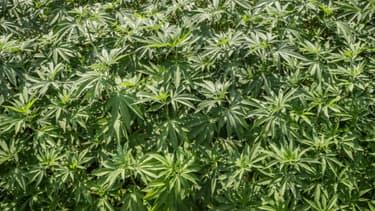 Des policiers, des magistrats, des députés ou encore des médecins, réclament dans le JDD la légalisation contrôlée du cannabis.