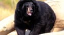L'ours Viviane dans la réserve africaine de Sigean. (Photo d'illustration)