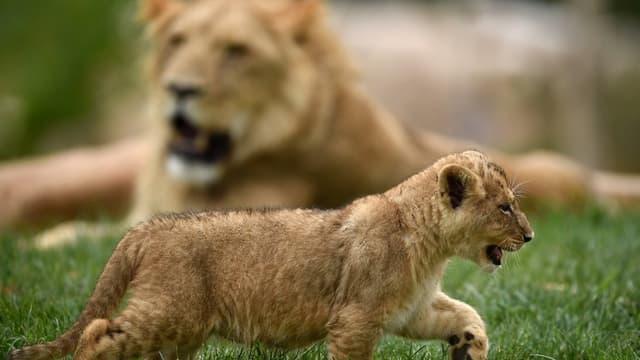 Les lionceaux vont venir agrandir la meute du zoo de Beauval (photo prise au zoo en 2017)