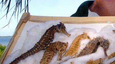 Les hippocampes séchés sont notamment utilisés dans la pharmacopée traditionnelle chinoise. (Photo d'illustration) - AF