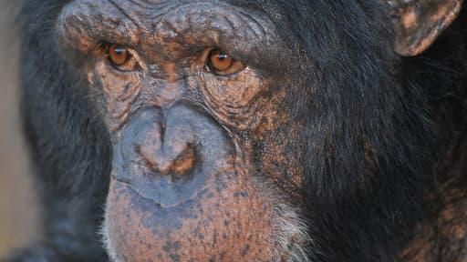 Chimpanzé d'Afrique du Sud