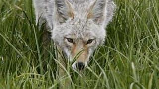 Le gouvernement s'est déclaré mercredi prêt à autoriser les éleveurs situés dans les zones où a été constatée une recrudescence d'attaques de loups à les abattre sans autre procédure pour défendre leurs troupeaux. /Photo d'archives/REUTERS/Jim Urquhart