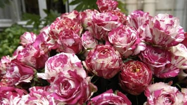Les Français ont majoritairement offert des roses pour la fête des mères.