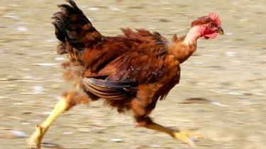 Quelque 30.000 poules pondeuses élevées en plein air vont permettre de fournir McDo.