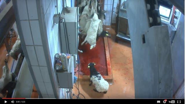 L'Association L214 a diffusé le 29 mars une vidéo dénonçant les pratiques employées par le personnel de l'abattoir du Pays de Soule.