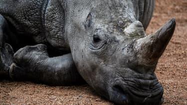 Dans leur milieu naturel, les rhinocéros n'ont que peu de prédateurs, en raison de leur taille et de leur peau épaisse.