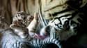 Un bébé tigre blanc au zoo La Pastora à Monterrey, au Mexique. (Photo d'illustration)
