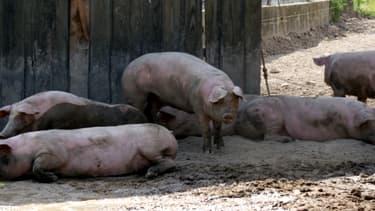 Des porcs dans une ferme de Bourgogne, juillet 2012