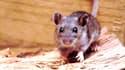 Une souris sylvestre porteuse de l'hantavirus.