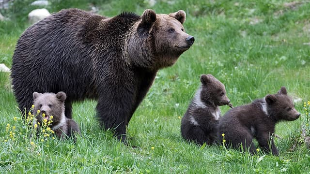 Luna et ses trois oursons, au parc animalier d'Aran dans les Pyrénées espagnoles.