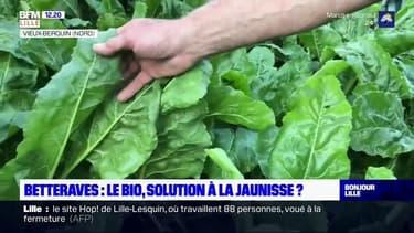 Selon la Région, la jaunisse virale touche 80% des exploitations de betteraves dans les Hauts-de-France. Un producteur de betteraves bio à Vieux-Berquin, dans le Nord, lui, n'est pas affecté par le phénomène.