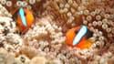 Des poissons-clowns dans la Grande barrière de corail, au large de la ville australienne de Cairns. La faune marine, d'une époustouflante diversité, est menacée par l'action combinée du réchauffement climatique et du développement économique.