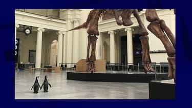 Les deux manchots se baladent dans le musée d'Histoire naturelle de Chicago.