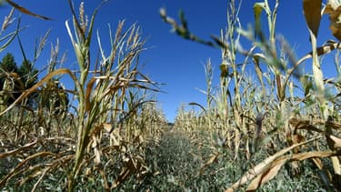 Des plants de maïs souffrent de la sécheresse à Bonnetable le 5 août 2020