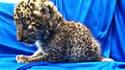 Un bébé léopard a été retrouvé dans un bagage à main, en Inde, ce samedi 2 février 2019