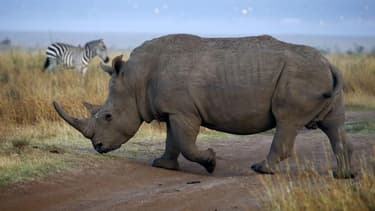 Si l'Afrique du Sud, qui abrite la quasi totalité des derniers rhinocéros du continent, ne parvient pas à inverser la tendance, le nombre de rhinocéros tués par les braconniers pourrait dépasser les 1.000 en 2014 et surpasser ainsi le nombre de naissances