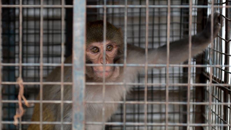 Inde: deux hommes arrêtés pour avoir volé de l'argent à l'aide de singes