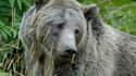 Un grizzli dans le parc de Yellowstone.