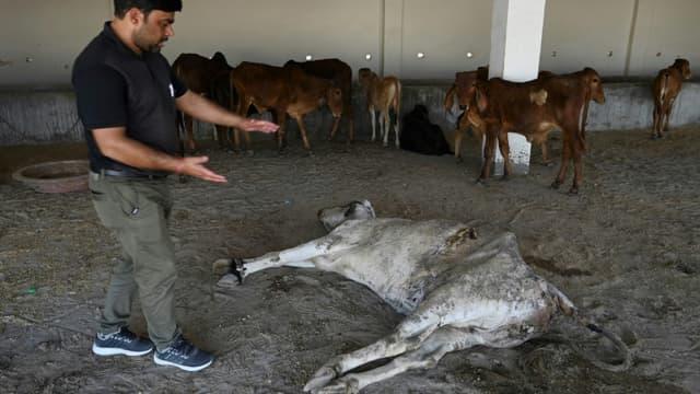 Un employé du People for Animal Trust à Faridabad, en Inde, montre la vache dont les chirurgiens ont extrait 71 kilos de déchets de son estomac, le 25 février 2021.