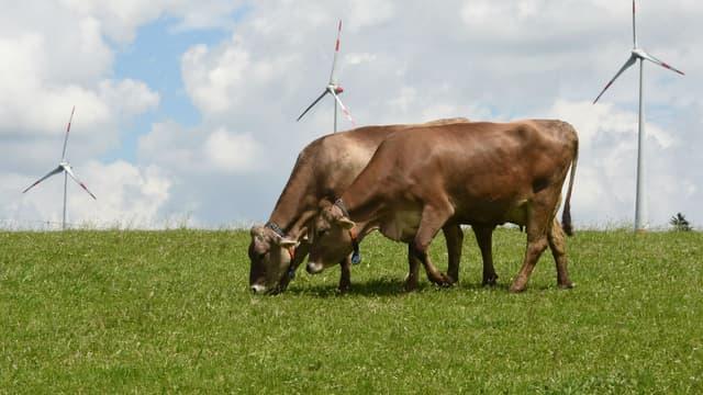 Des vaches marron à Wildpoldsried, en Allemagne. Photo d'illustration.
