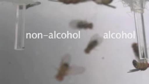Les mâles au coeur brisé se jettent sur la nouriture imbibée d'alcool.