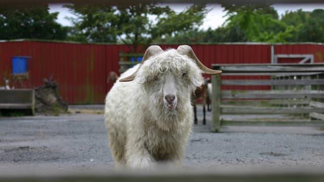 La décision de H&M, Zara et Gap a été prise après la diffusion d'une vidéo de Peta montrant des maltraitances dans les élevages de chèvres angora.