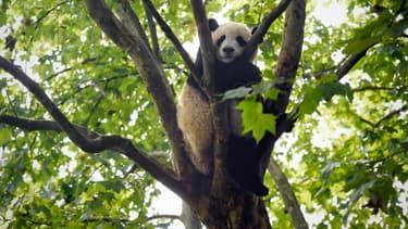 Un panda dans le centre de reproduction et de conservation du panda géant de Chengdu (Sichuan), en Chine, le 9 septembre 2016.