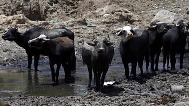 Plus de 400 buffles sont morts noyés dans la rivière Chobe. Image d'illustration.