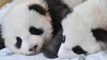 Deux pandas - Image d'illustration