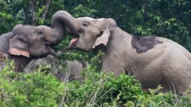 Les éléphants détiennent l'odorat le plus développé du règne animal. Ce qui n'empêche pas de se battre ou s'amuser à coups de trompe.