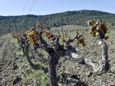 Des pieds de vigne détruits par l'épisode de gel à Estagel, près de Perpignan, le 13 avril 2021