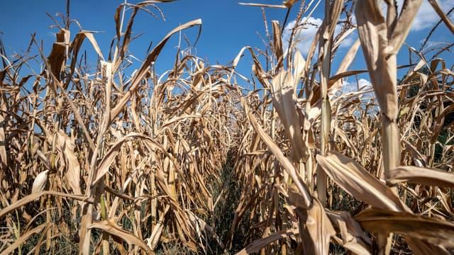 La sécheresse a abimé les champs de maïs
