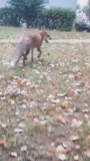Un renard dans la rue - Témoins BFMTV
