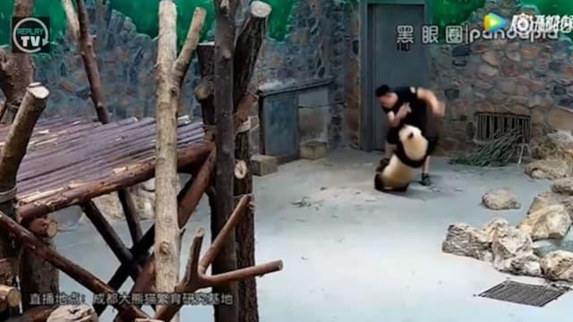 Des images de pandas malmenés en Chine