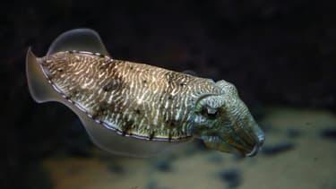 Une seiche dans un aquarium du Centre scientifique de Koweit City en mars 2016. (Photo d'illustration)