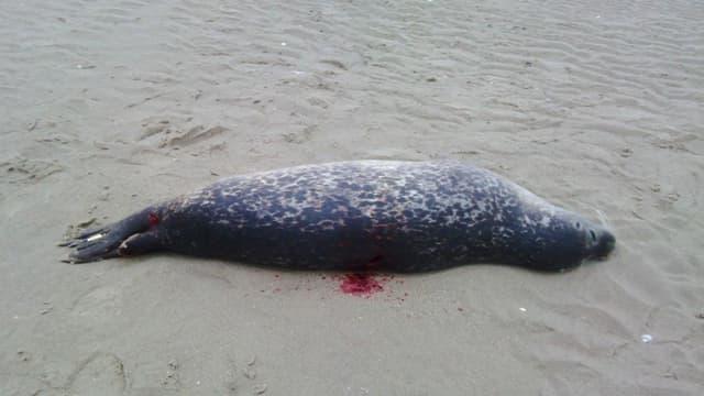 Un phoque abattu sur une plage du Pas-de-Calais