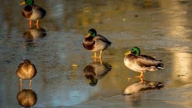 Un foyer de grippe aviaire a été découvert dans un élevage de canards du Tarn (photo d'illustration).