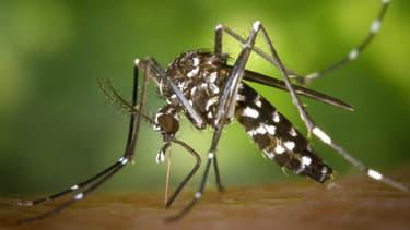 Un moustique tigre.