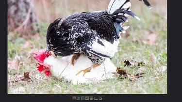 Les poules libres auront surement droit à un coq pour les stimuler à produire des oeufs.