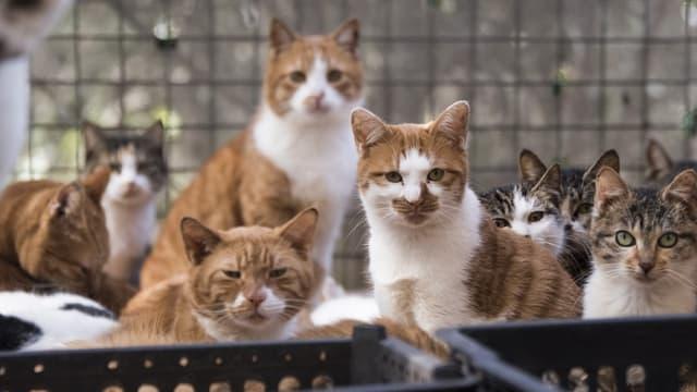 En Chine, un homme se faisant passer pour une amoureux des chats en tuait une centaine par jour pour les consommer et vendre leur viande.