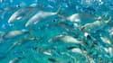 Des poissons nageant dans une crique de Portofino, en Italie en septembre 2015. En me méditerannée, 89% des stocks de poissons ont été épuisés.