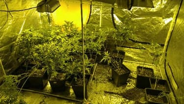 Un habitant de Roanne cultivait une centaine de pieds de cannabis.
