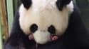 La femelle panda Huan Huan et ses deux nouveaux petits au ZooParc de Beauval le 1er août 2021.