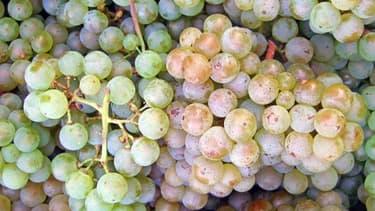 Des grappes de Pinot blanc, un des nombreux cépages, ou variété de raisin, qu'on peut trouver en France.