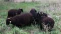 Ces quatre brebis devront brouter toute l'herbe d'un terrain de 1000m².